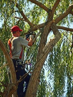 a tree surgeon in a tree working