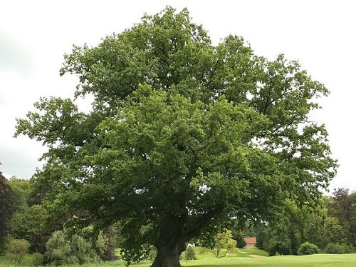 Solihull Oak tree care