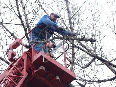 a professional tree surgeon trimming a tree